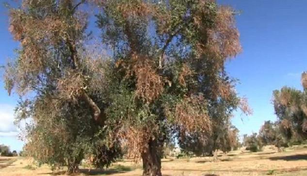 ulivo-affetto-da-xylella-fastidiosa-2